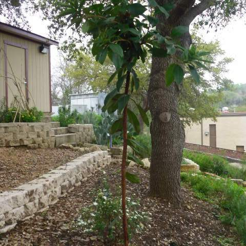 Arundo unedo; Strawberry Tree; Pool-Tool Shed Garden