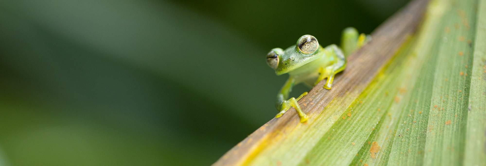 Up close view of a glass frog in the wild